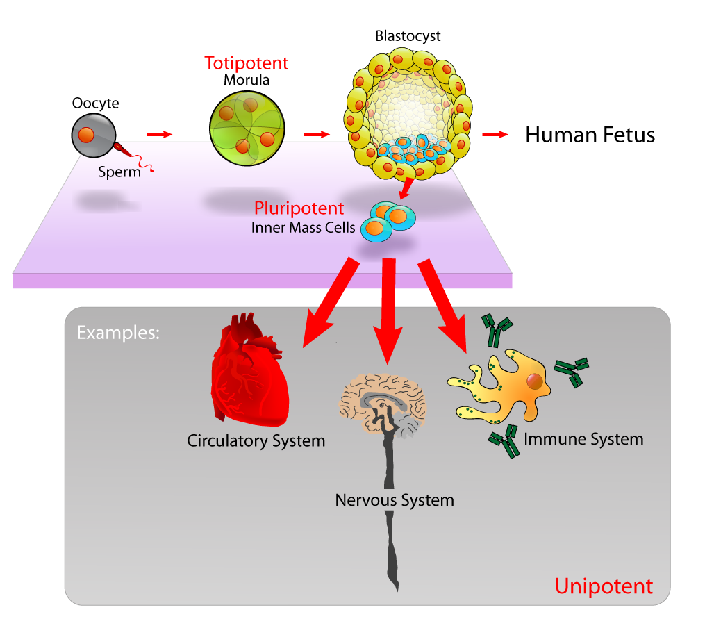 stem_cells_diagram.png